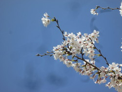 桜は花が散っても桜